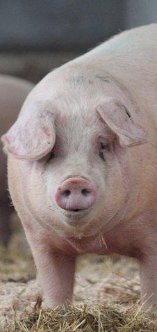 Glückliches Vulcano Schwein